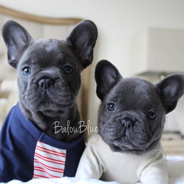 Siblings Are Always In Your Heart Baloubies Bluegems Nuggetdiaries Cute Animals Cute Dogs French Bulldog Puppies