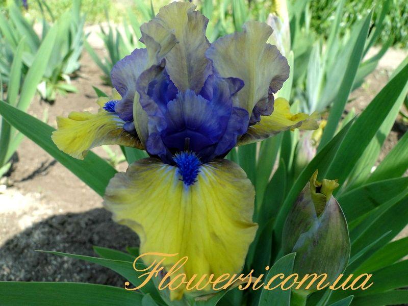 Magnetic Storm Iris Iris Flowers Iris Garden Beautiful Flowers