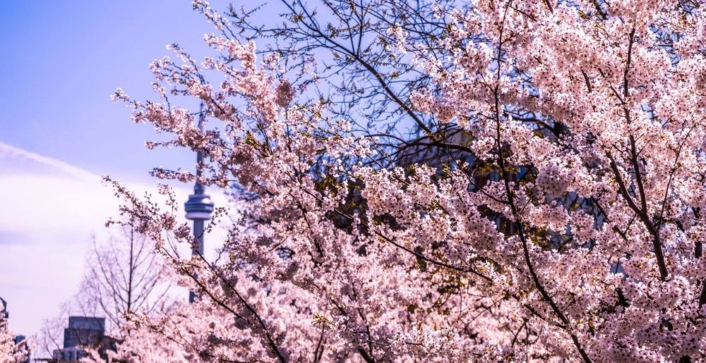 Sakura Trees In Toronto Are About To Bloom So We Ve Rounded Up The Top Spots To Check Out The Fragrant Pink Cherry Blosso In 2021 Cherry Blossom Blossom Trees Blossom