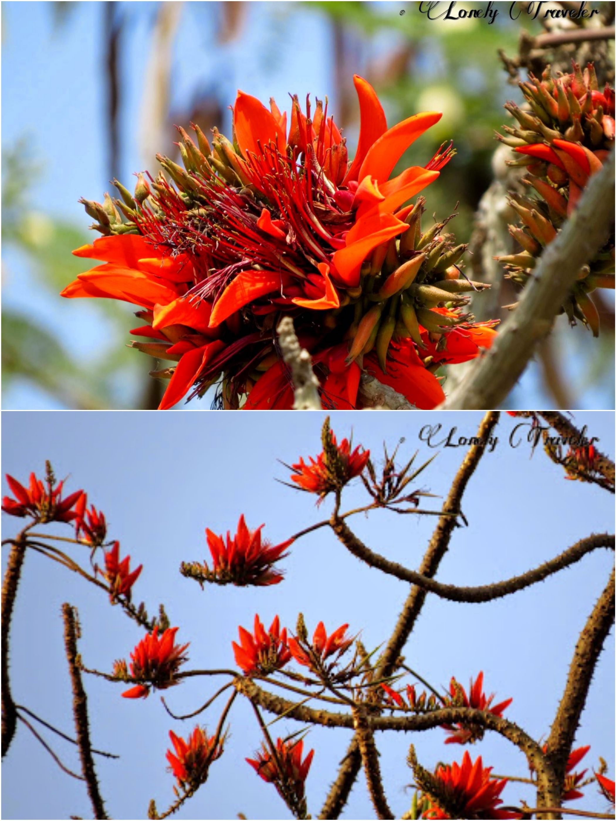 Mandar Flower, Parijat Erythrina Variegata Flores