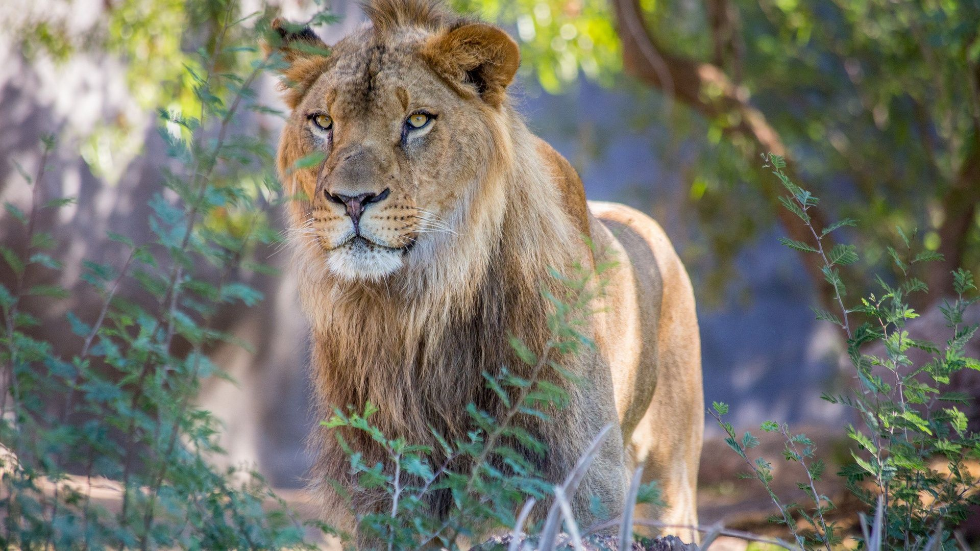 Find out: African Wild Lion wallpaper on  http://hdpicorner.com/african-wild-lion/