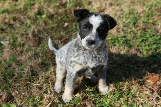 Litter Of 6 Blue Healer Border Collie Mix Puppies For Sale In Franklin Tn Adn 54892 On Pu Heeler Puppies Cattle Dogs Mix Australian Cattle Dog Border Collie