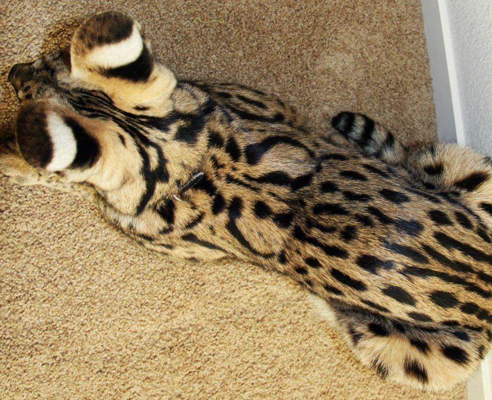 Zeus's beautiful markings Serval cats, Cat halloween costume