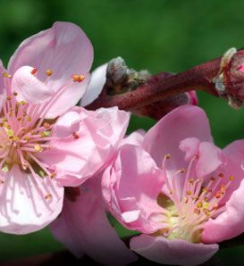 Lovely Close Up Of A Golden Jubilee Peach Blossom Peach Trees Golden Jubilee Peach Blossoms
