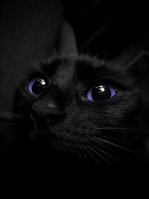 Purple Eyes Cats Illustration Cat With Blue Eyes Gorgeous Cats