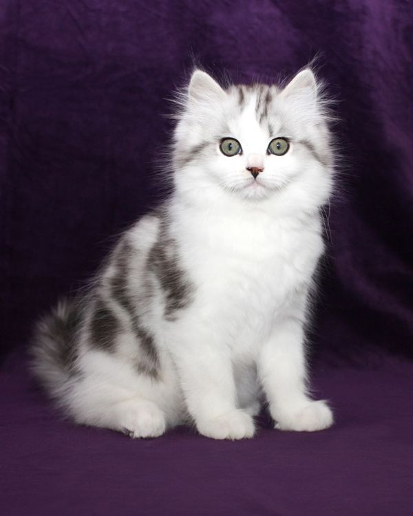 Image result for ragamuffin cat (With images) Ragamuffin