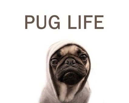 Blind Pug Guided By Seeing Eye Pug Cute Pugs Pug Life Pugs