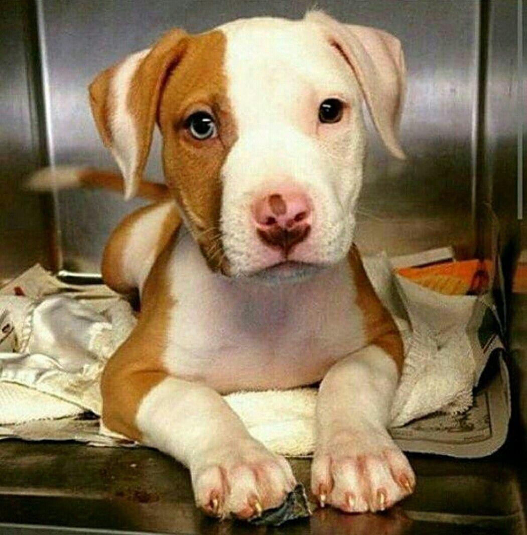 Too Precious Pitbull Puppies