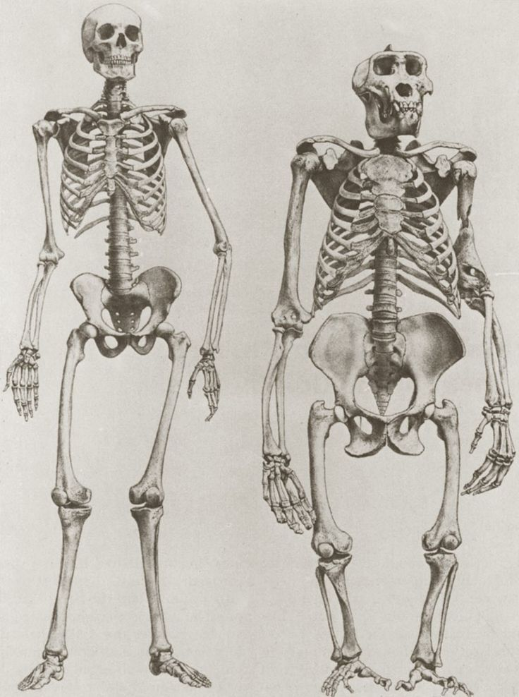 The skeletons of a human (left) and a gorilla (right)   Animal ...