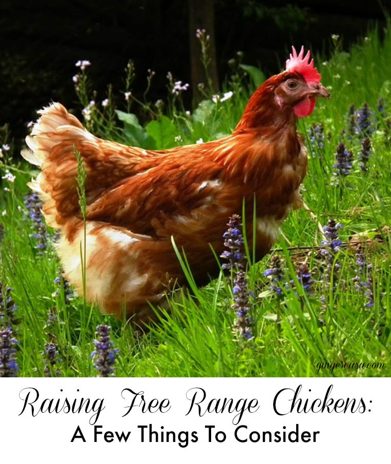 Backyard Chickens Are Great But Should You Let Them Free Range Here Are Just A Few Things To Consider