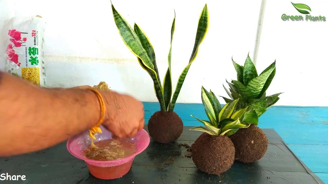 How To Grow Snake Plant Kokedama Snake Plant Indoor Decoration