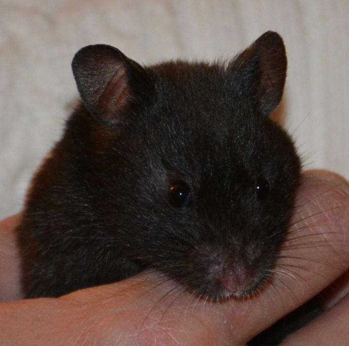 Adopt Pepper On Syrian Hamster Bear Hamster Animal Help