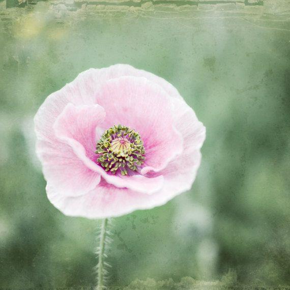 Poppy Flower By Lupengrainne Flowers Flowers Poppies Pink