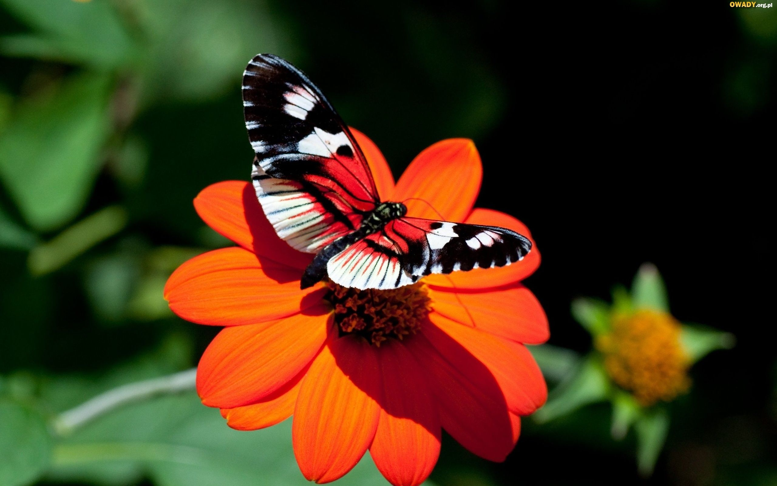 Red butterfly on a red flower.