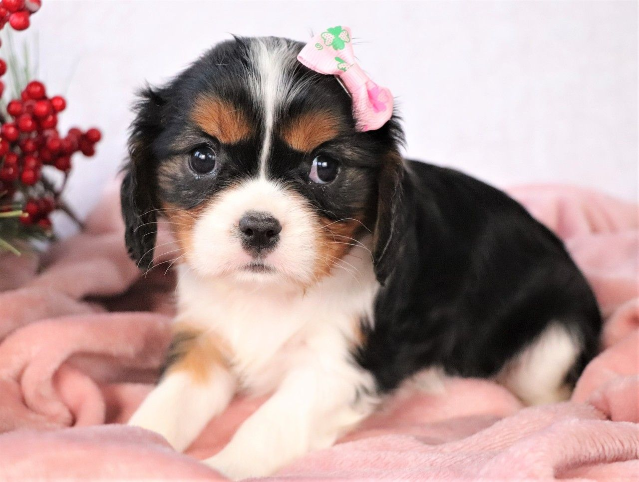 Aspen in 2020 Spaniel puppies for sale, King charles