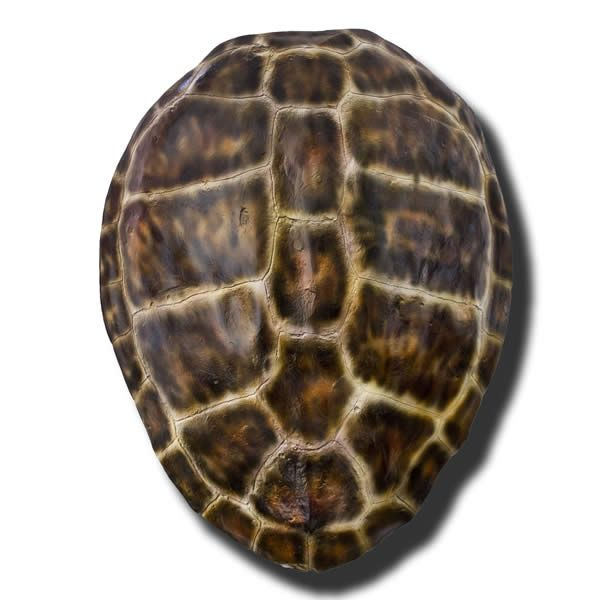 Brown Loggerhead Turtle