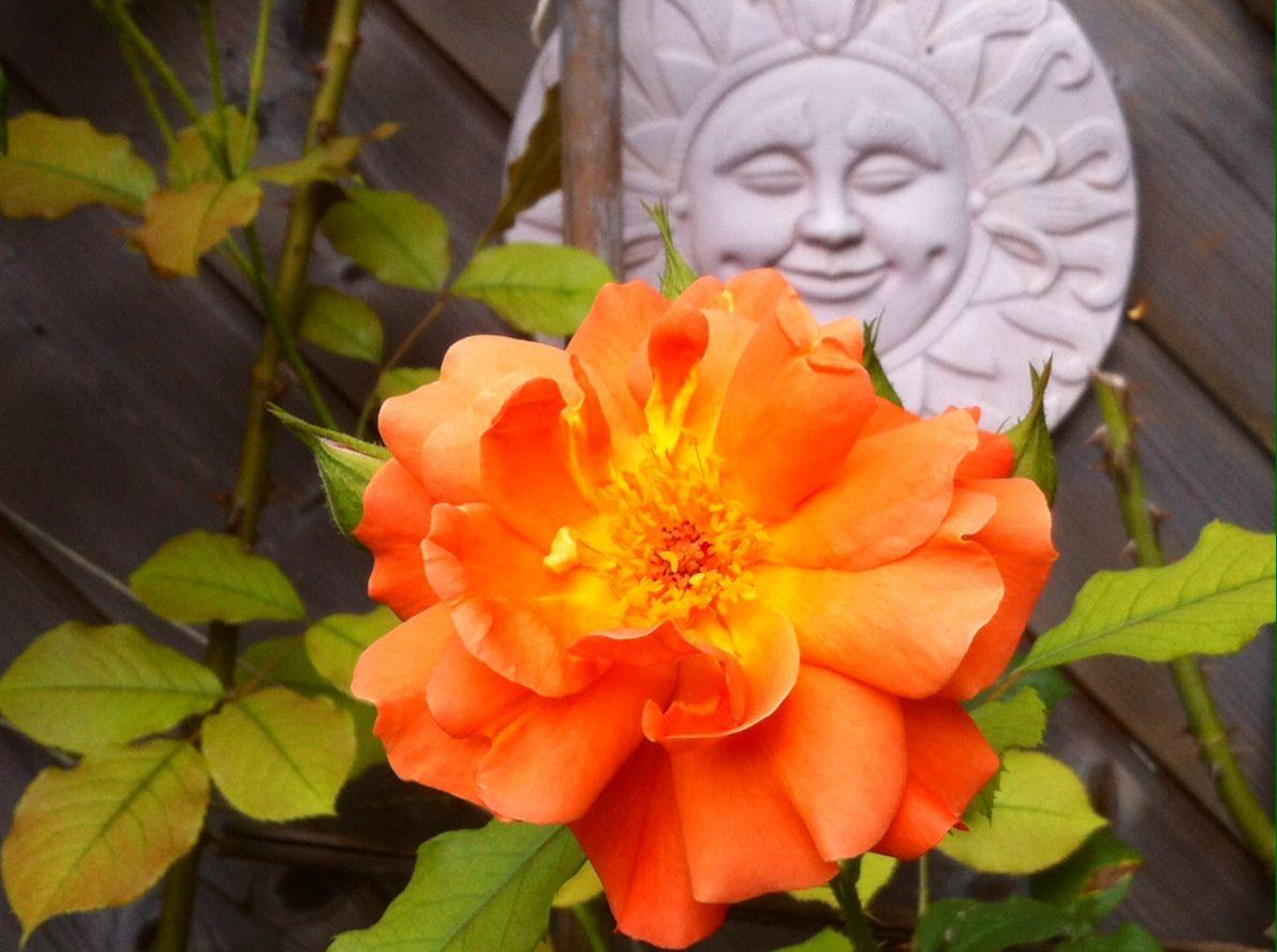 rose westerland climbing roses pinterest roser. Black Bedroom Furniture Sets. Home Design Ideas