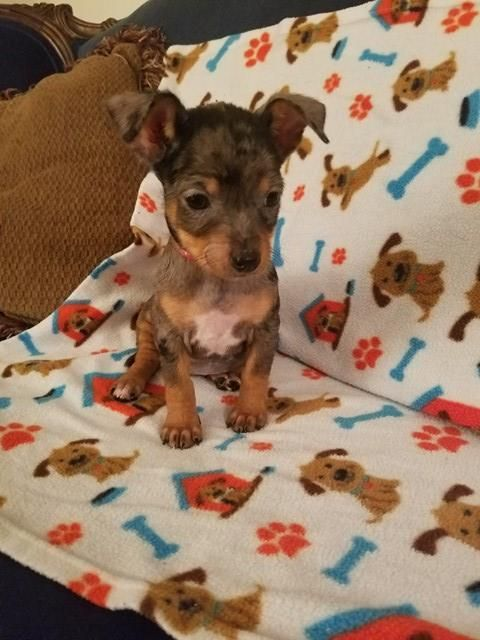 Adopt Steillina On Houston Tx Dachshunds And Adoption