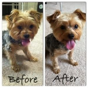 Image Result For Short Haircuts For Yorkie Dogs Beautiful Yorkies