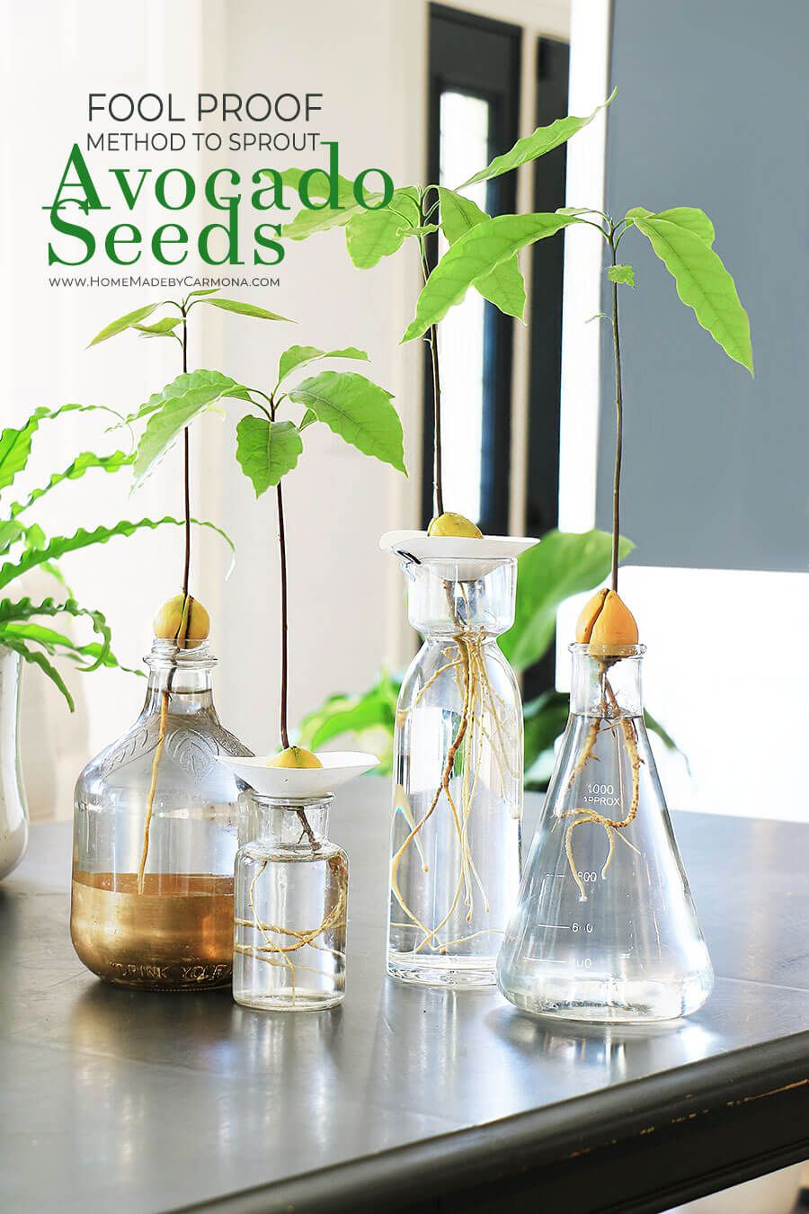 Fool Proof Ways To Grow An Avocado Plant From Seed is part of Avocado plant, Avocado plant from seed, Grow avocado, Growing an avocado tree, Avocado seed, Avocado seed growing - Learn a fool proof method to grow an avocado plant from seed! Why did your toothpick method fail  Here are a few avocado seed growing tips you'll need!