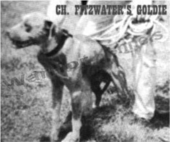ONLINE PEDIGREES :: [432] :: FITZWATER'S GOLDIE (4XW