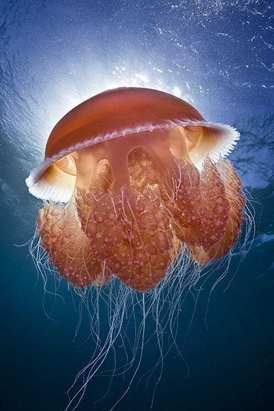 'Inner glow' - jellyfish in Ningaloo Reef, Australia