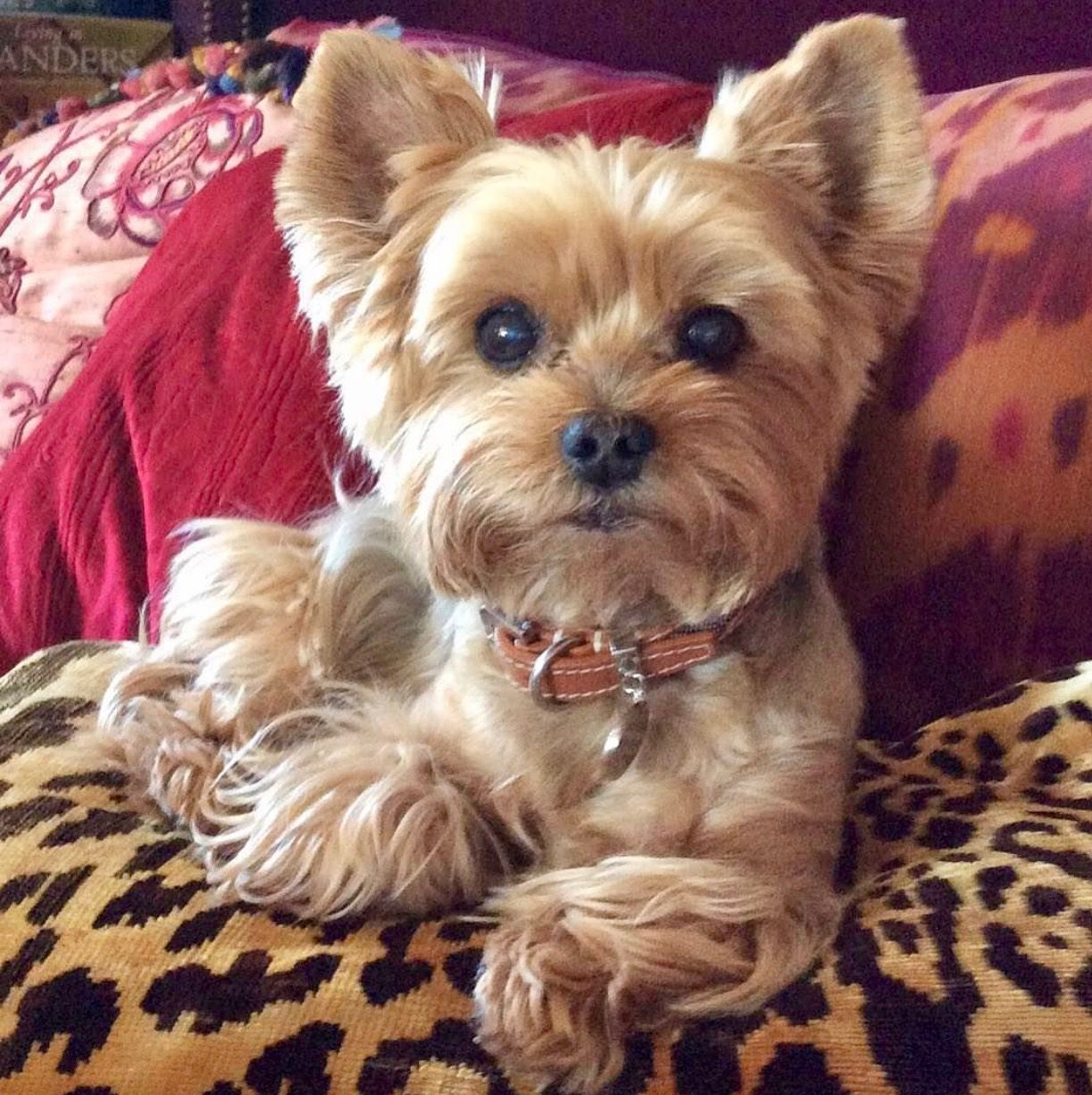 I M Ready For My Portrait Now Yorkie Puppy Yorkshire Terrier