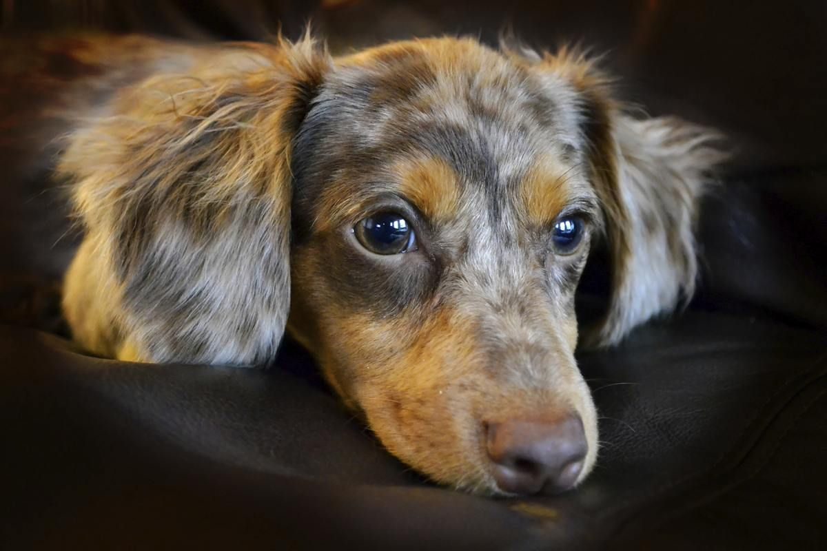 Personality Traits Of A Dachshund Chihuahua Mix Chiweenie