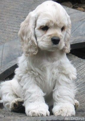 Cocker Spaniel In The 1800s Spaniels Were Officially Divided Into Two Groups Toy Hunting Dogs The Cocker S Spaniel Puppies Cocker Spaniel Puppies Puppies