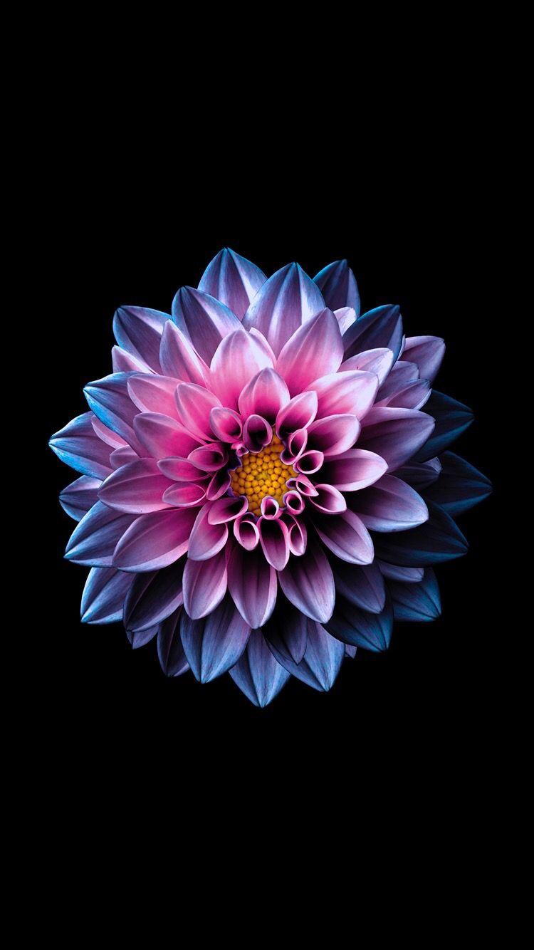 Glowing Dahlia Flower Background Iphone Flower Iphone Wallpaper Flower Backgrounds