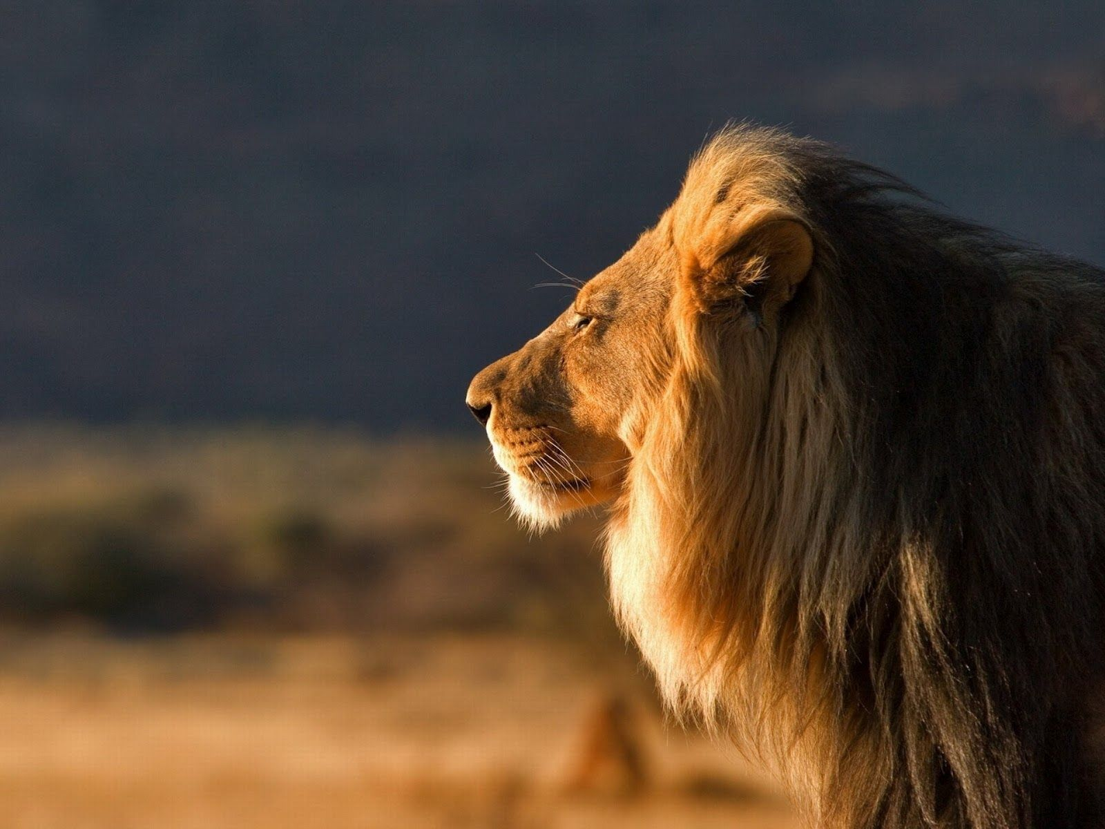 Male Lion Wallpapers Cute Wild Animals Lion Hd Wallpaper Lion Wallpaper