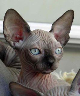Siamese Sphynx Http Represent Com Kittenshirt Cat Feline Cute Cats Hairless Cat