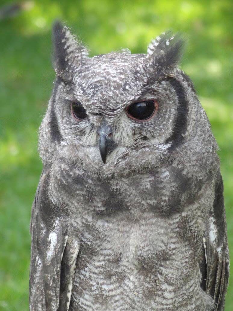 Pin by Tammy Morrow on Wild Kingdom Long eared owl, Owl