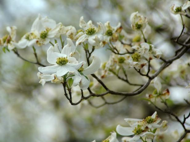Dogwood Tree Planting, Care, Varieties and Facts Dogwood