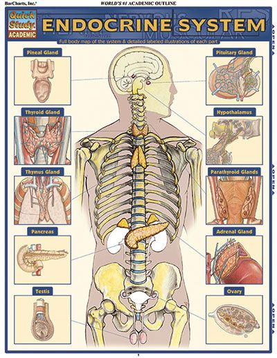 Endocrine System Quickstudy Each Area Of The Endocrine System Is