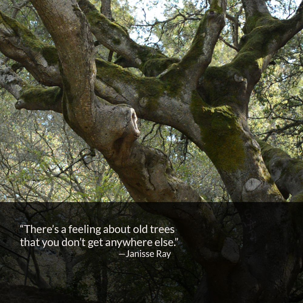 We found this old coastal live oak in Berkeley's Codornices Park. Photo is by Anna M. Hiatt.