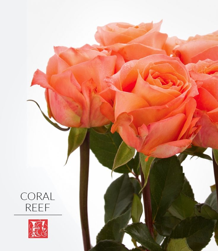 Coral Garden Rose meet coral reef one of our new coral rose varieties. this lovely
