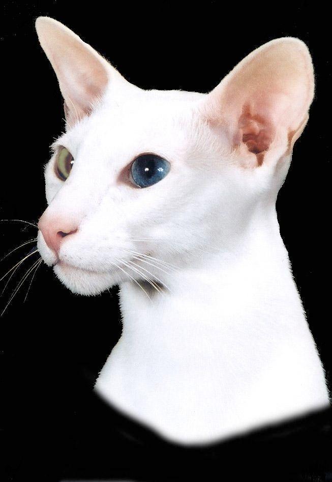 Our Wonderful Odd Eyed White Compass Rose Cattery Oriental Shorthair Boy Avery He Is Such A Joy Gc Gp Nw Compass Rose Ivory Sky Schattigste Dieren Dieren