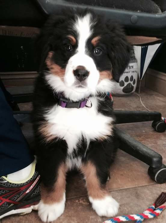 Bernese Mountain Dog Puppy Dogs And Puppies Bernese Mountain Dog Puppy Mountain Dogs