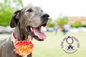 Adopt Luna On Great Dane Dogs Dogs Pets