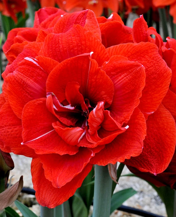 Jumbo Double Amaryllis Red Nymph In 2020 Amaryllis Flowers Amaryllis Bulb Flowers