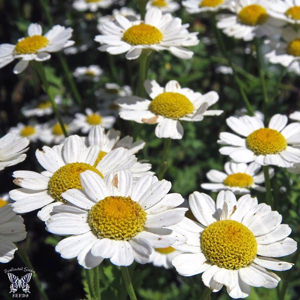 Feverfew White Daisy Like Flowers With Yellow Centers On 3 Ft Tall Perennial Plants Swallowtailgardenseeds Com Medicinal Plants Plants Feverfew