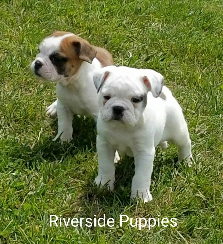 Mini Bulldog From Riverside Puppies Mini Bulldog Puppies Bulldog