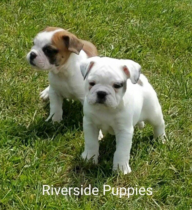 Mini Bulldog from Riverside Puppies Mini bulldog