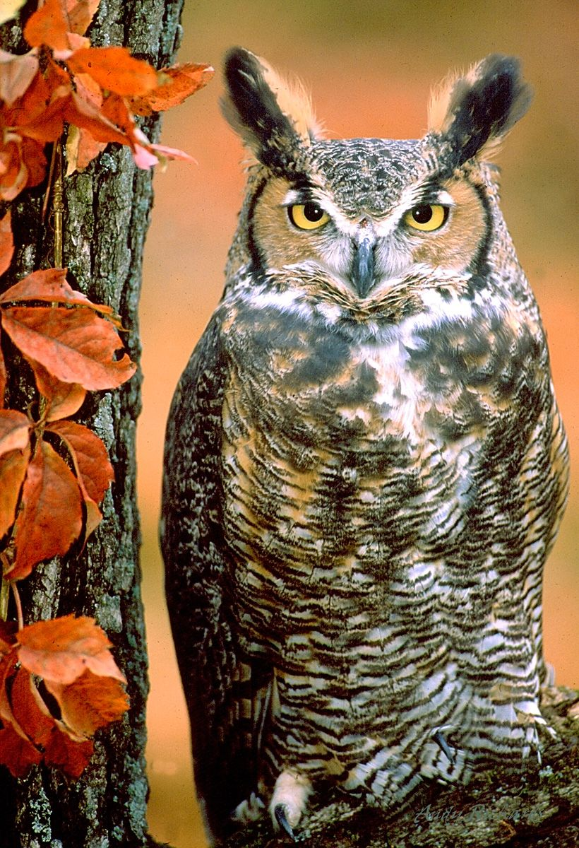 Great horned owls are fierce predators with an appetite for skunks- He has been on my roof looking for that skunk!