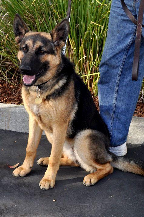Love Me My German Shepherds German Shepherd German Shepherd