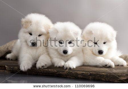 Funny puppies of Samoyed dog (or Bjelkier) by Liliya Kulianionak, via Shutterstock