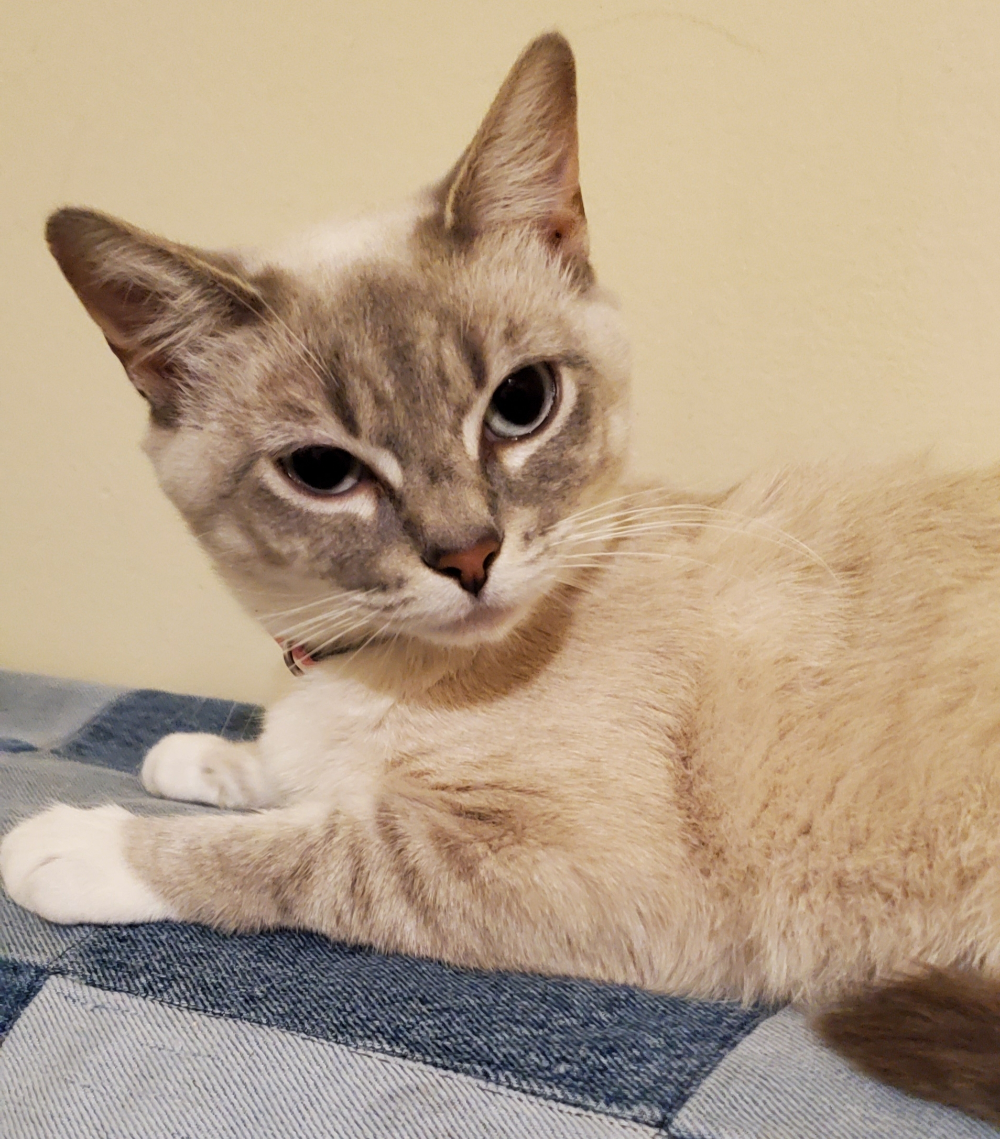 Adopt Ellie On In 2020 Cat Adoption Help Homeless Pets Kitten Rescue