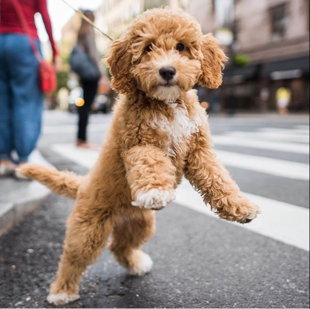 Peach The Cockapoo Labradoodle Miniature Really Cute Puppies Puppies