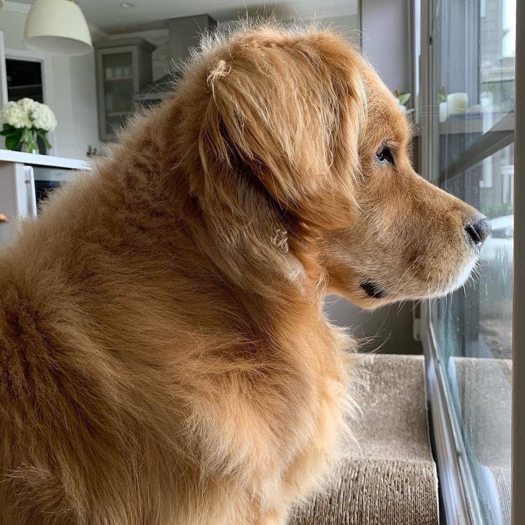 Louie The Golden Retriever On Instagram Side Profile On Fleek